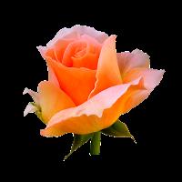Rose, Bien Mieux