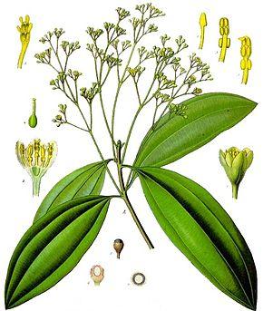 Cinnamomum_aromaticum_-_Köhler–s_Medizinal-Pflanzen-039_cropped